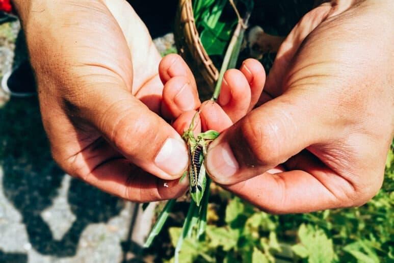 semillas de sésamo en su vaina